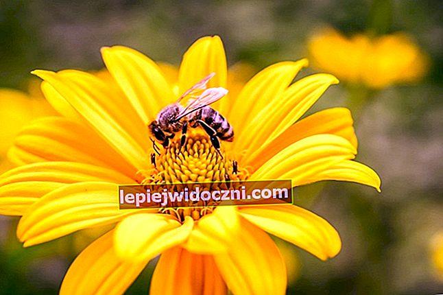 Zobacz, jak pszczoły robią miód