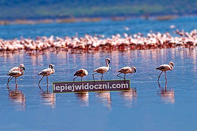 Dlaczego flamingi stoją na jednej nodze?