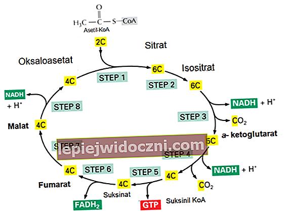 Zrozumienie cyklu Krebsa w oddychaniu komórkowym